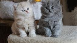 British Shorthair Kittens Playing