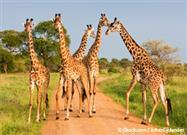 giraffe extinction