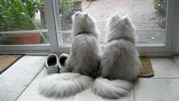 Persian Kitties, Side by Side