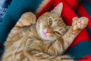 Gatos con Polidactilia