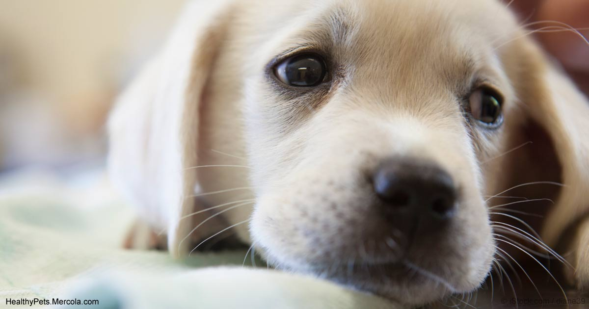 Parvovirus: This Can Kill Your Dog in Less Than 72 Hours
