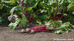 How to Grow Beets, and Why You Should