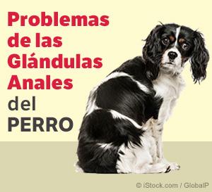 problemas de las glandulas anales del perro