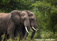80 Percent of African Forest Elephants Lost to Poaching