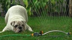 Bentley the Bulldog and the Sprinkler