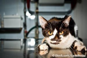 Lipidosis Hepática en Gatos
