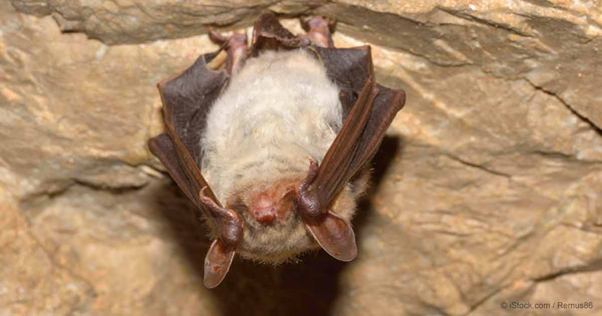 Minnesota Bats Stricken by White-Nose Syndrome