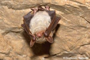 white nose syndrome bats