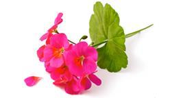 Give Your Health a Much-Needed Boost With Geranium