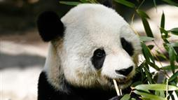 Is Panda Tourism Harmful to the Animals?