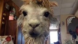 Tiny Alpaca Rules the House