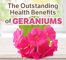 Health Benefits of Geraniums