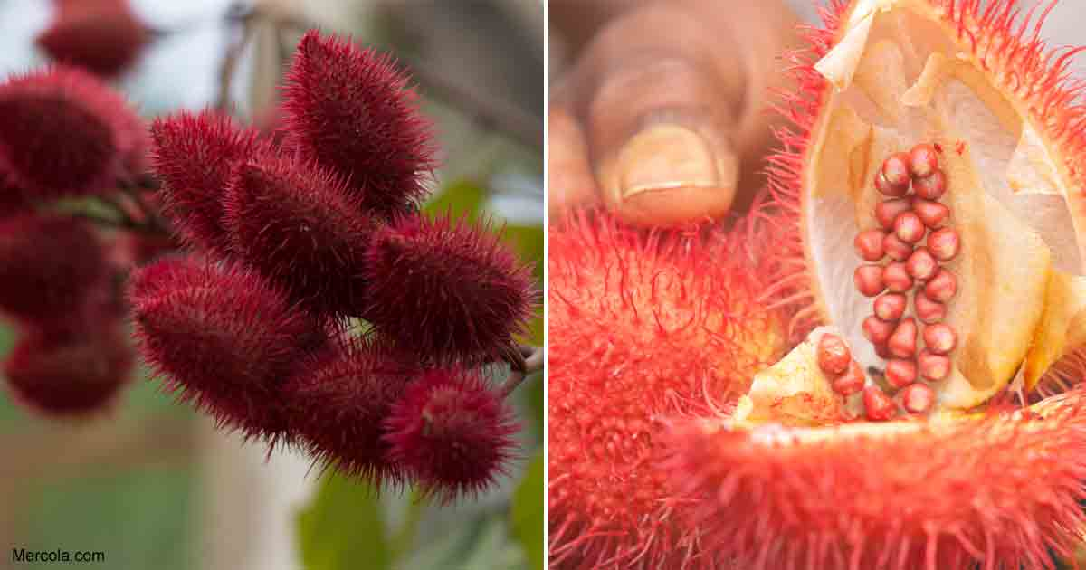 What Are The Benefits And Uses Of Achiote