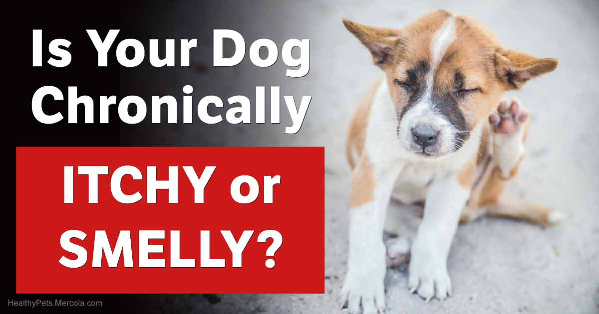 Chronically Itchy or Smelly Dog? It Could Be Yeast Infections