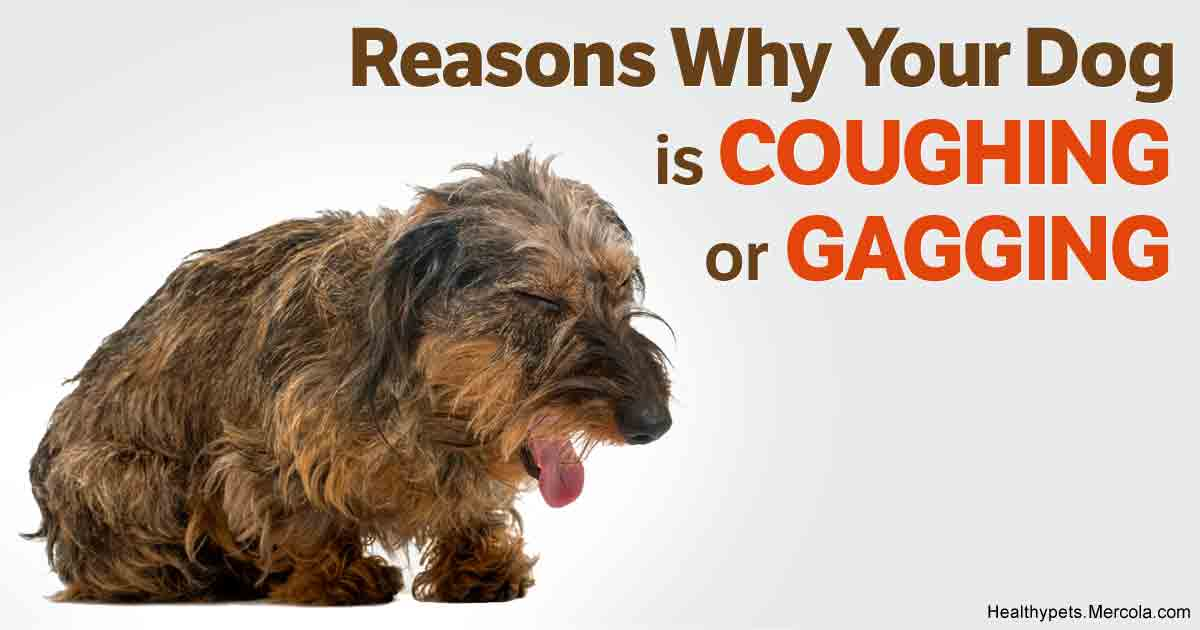 Small Dog Hacking Cough