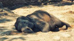 elephant sleep