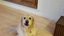 Golden Retriever Picks Up Her Toys on Command