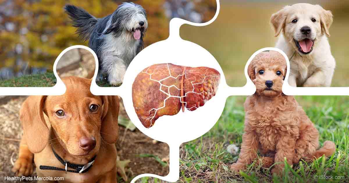 dog liver shunt