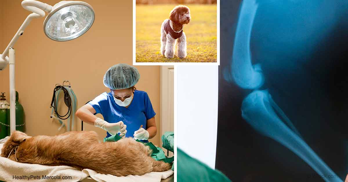 Floating Kneecaps Or Luxating Patella In Dogs