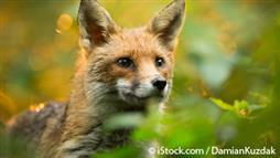 Why Foxes Are Crucial for Keeping Down Rates of Lyme Disease