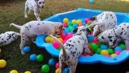 Dalmatian Puppies Having Fun in Their Ball Pit