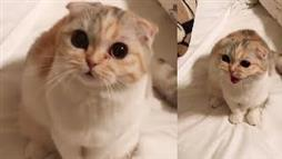 Luna Rose, Adorable Scottish Fold Kitty
