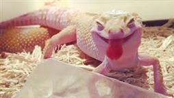 Gecko Wins Smile of the Year