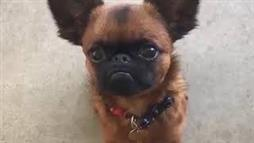 Dog Looks Just Like Gizmo