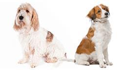 Kooikers and Grands: Two Newest Dog Breeds to Join the AKC
