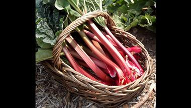 Tips In Planting and Growing Rhubarb