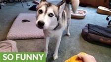 Husky Argues When Dachshund Has Her Toy