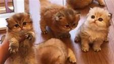 Cutest British Shorthair Golden Kittens