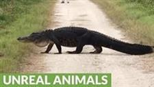 Gigantic Alligator Strolls Across Walking Trail