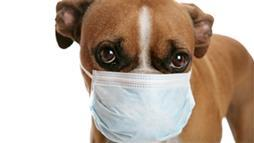 flu pandemic from dogs