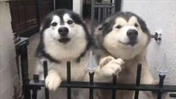 Dogs Compete to Show How Excited They Are