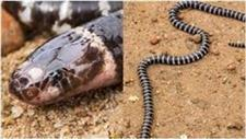 New Breed of �Deadly� Snake �Stumbled Upon� in Australia