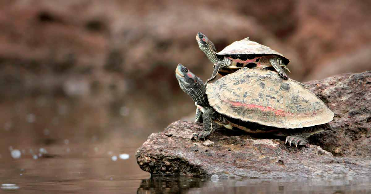 Wild Turtles in Texas Are Declining