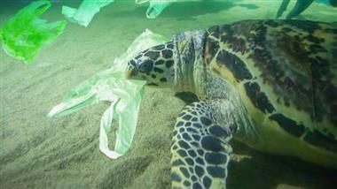 sea turtle ingests microplastic