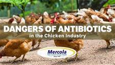 How Antibiotics Created the Chicken Industry � And Turned It Into a Source of Lethal Infections