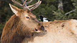 elk and cleaner-bird