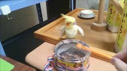 Cockatiel Bangs to the Beat of His Own Drum