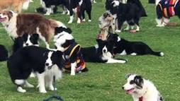 Border Collies Intentan Romper el Récord Mundial