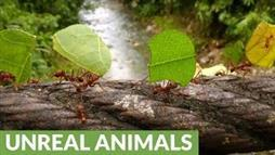 Incredible Leafcutter Ants Cross Amazon Bridge