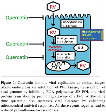 quercetin inhibits viral replication
