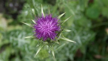 How to Grow Milk Thistle