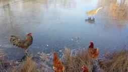 Chickens and a Cat Slipping on Iced-Over Pond