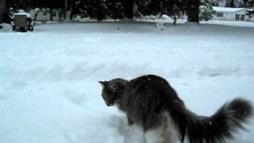 Maine Coon Kitty Fascinated by Snow