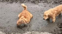 Golden Retriever 'Digs in' for a Mud Bath