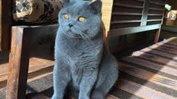 Blue British Shorthair Loves Being Brushed