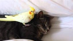 Cockatiel Protects Sleeping Cat